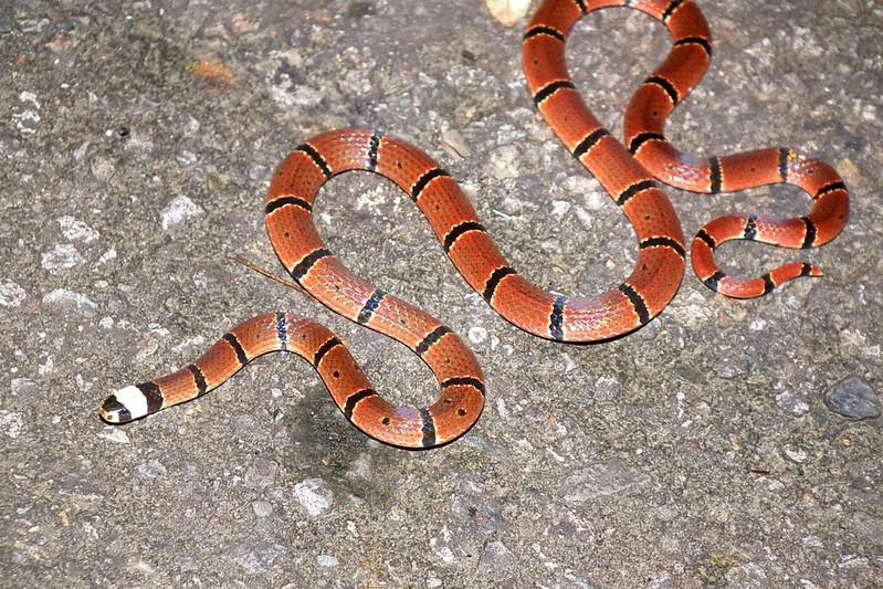 美麗至極的環紋赤蛇,您忍心傷害這麼漂亮的動物嗎?