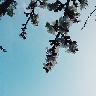 The other day when the moon was just a little sliver....  #latergram #lookingup #blossoms #apricot #tree #flowers #springflowers #firstsignsofspring #sky #moon #crescent #clouds #branches #apricottree #sebastopol #california #perspective #capture #spring
