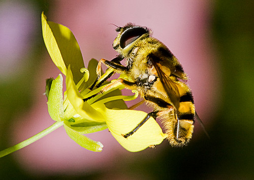 Hover Fly - family Syrphidae