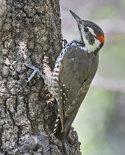 Arizona Woodpecker -Ash Canyon B&B- Sierra Vista, AZ