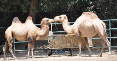 animal, zoo, mammal, fauna, camel, arabian camel,