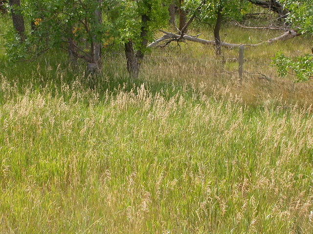 Perennial Brome Grasses : Bromus inermis flickr photo sharing