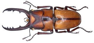 Prosopocoilus suturalis (Olivier, 1789) male