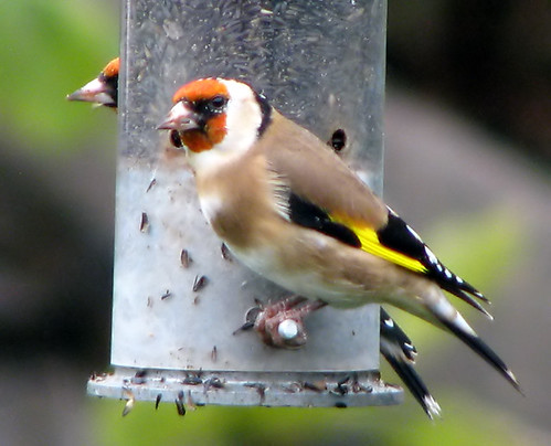 Gold mirror ~ Goldfinches :-)