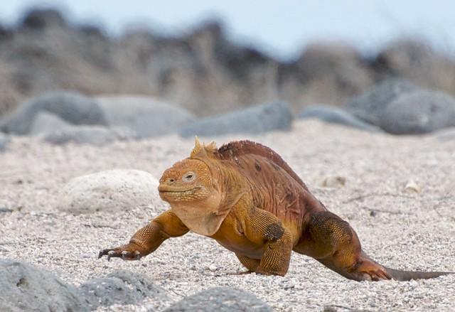 Galapagos Land Iguana on the Move