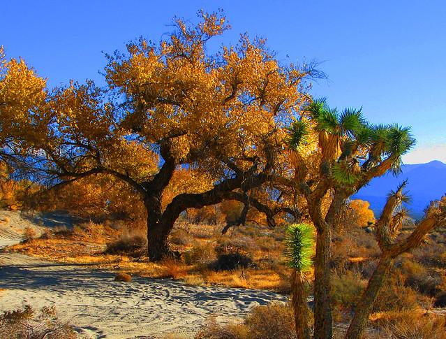 Joshua Tree in Fall