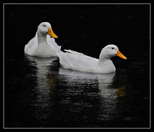 White ducks, Mudgee