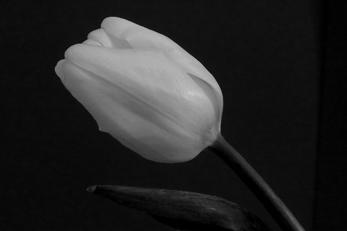 Black And White Tulip Photography Tulip in Black And White
