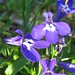 Garden Lobelia - Photo (c) beautifulcataya, some rights reserved (CC BY-NC-ND)