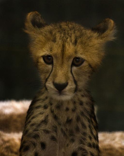 baby cheetah 2