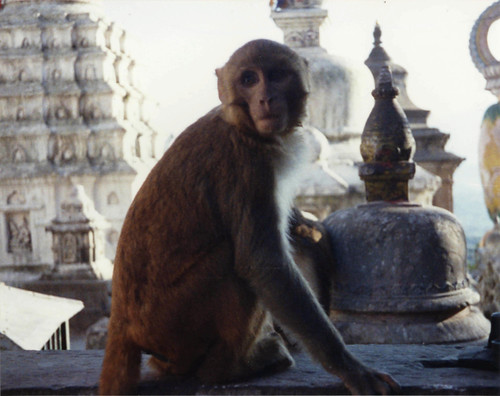 Monkey on Swayambhunath Stupa, chortens, reliquary monuments to honor past heros and heroines of religion and insight, Kathmandu, Nepal, 1990, photo by Steve D. by Wonderlane