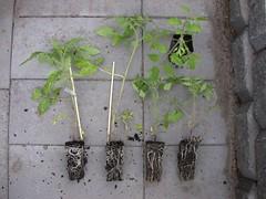 Tomato-2RomaVF-3Roma-8916