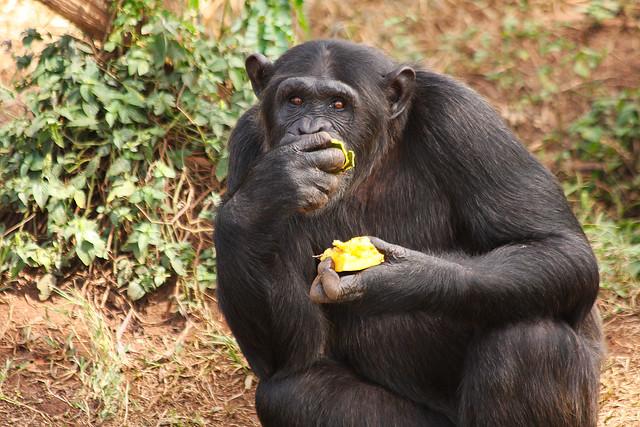 Chimpanzee at Ngamba Island