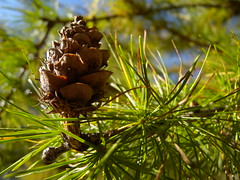 tree(0.0), plant(0.0), larch(1.0), conifer(1.0), flower(1.0), branch(1.0), pine(1.0), leaf(1.0), nature(1.0), macro photography(1.0), flora(1.0), close-up(1.0), conifer cone(1.0), fir(1.0), spruce(1.0), twig(1.0),
