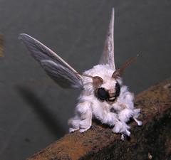 Poodle moth (Artace sp ?), Venezuela