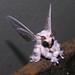 Poodle moth (Artace sp, perhaps A. cribaria), Venezuela by Arthur Anker