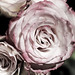 Small photo of Rose Whorl