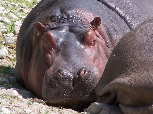 Lazy hippos 2 | by cetaylor