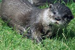 wombat(0.0), animal(1.0), otter(1.0), mammal(1.0), fauna(1.0), marmot(1.0), polecat(1.0), whiskers(1.0), mink(1.0), wildlife(1.0),