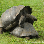 Some Unsuccessful Mating - Galapagos Islands
