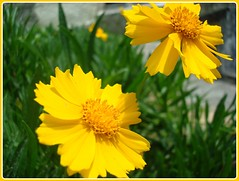 calendula(0.0), nectar(0.0), marguerite daisy(0.0), chamaemelum nobile(0.0), oxeye daisy(0.0), annual plant(1.0), flower(1.0), garden cosmos(1.0), yellow(1.0), plant(1.0), herb(1.0), wildflower(1.0), flora(1.0), sulfur cosmos(1.0), meadow(1.0), petal(1.0),