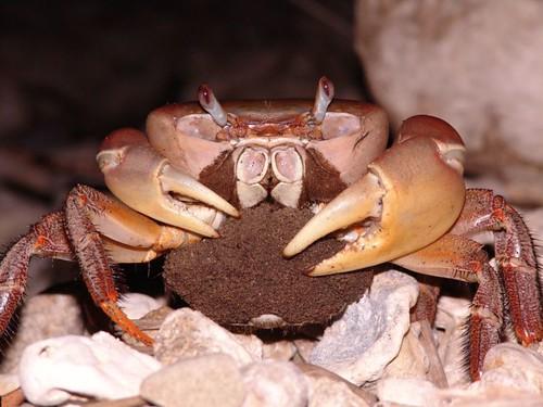 兇狠圓軸蟹抱卵母蟹降海釋幼數也將列入監控指標。(圖片來源:營建署墾管處)