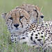 Cheetah Brothers resting