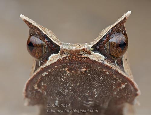Megophrys nasuta IMG_8499 stk copy