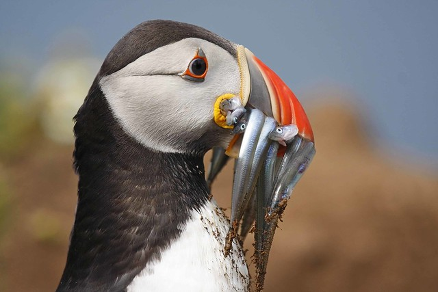 Puffin with Sand eels #3