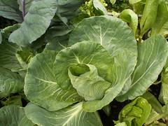 annual plant, cabbage, vegetable, leaf, leaf vegetable, collard greens,