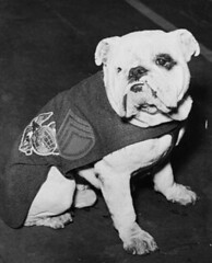 dog breed, animal, dog, old english bulldog, british bulldogs, pet, olde english bulldogge, mammal, white english bulldog, monochrome photography, toy bulldog, monochrome, bulldog, black-and-white,