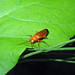 Small photo of Soldier Beetle, Cantharidae