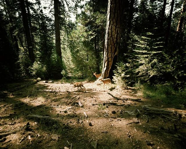 John Muir Trail -- Deer
