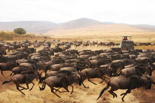 無料写真素材, 動物 , 哺乳類, ヌー, 動物  群れ