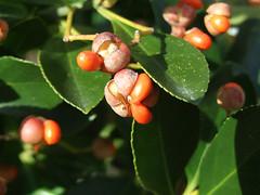 Euonymus japonicus