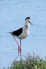 stork(0.0), sandpiper(0.0), animal(1.0), charadriiformes(1.0), fauna(1.0), ciconiiformes(1.0), stilt(1.0), shorebird(1.0), beak(1.0), bird(1.0),