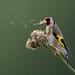European Goldfinch; Carduelis carduelis by m. geven