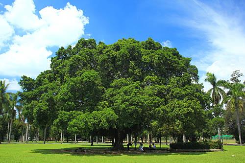 65a3屏东糖厂-大榕树 | flickr – 相片分享!