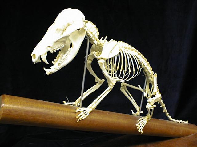 Opossum Skeleton | Didelphis virginiana. Possum, to be col ...