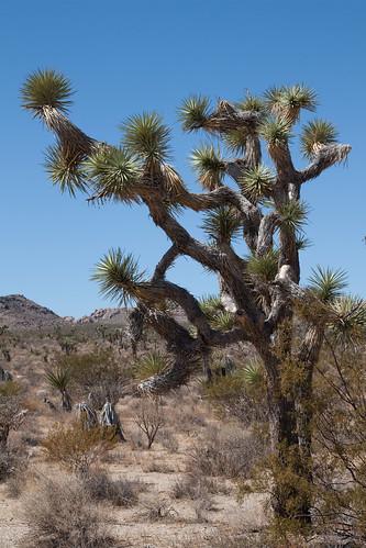 Yucca Moth Range Joshua Trees Th...