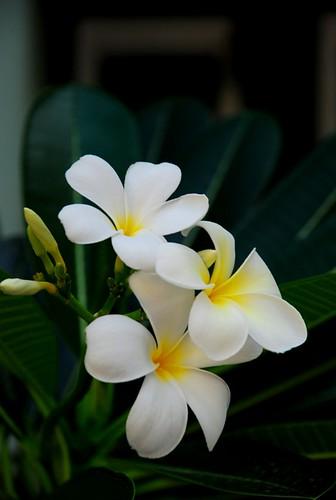 Frangipani 鸡蛋花