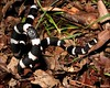 "<a href=""http://www.flickr.com/photos/teejaybee/4237810409/"">Photo of Vermicella annulata by teejaybee</a>"