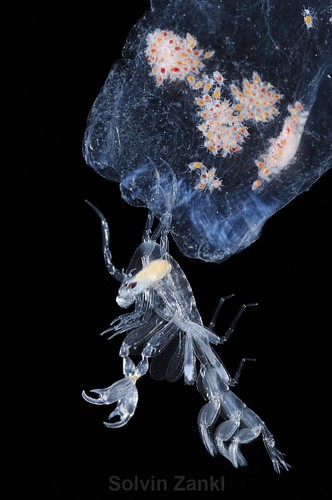 "Phronima sp. This amphipod was the inspiration for the character in the movie ""Alien""."
