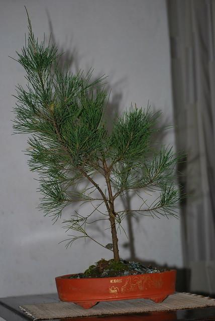 Casuarina equisetifolia bonsai stock | Flickr - Photo Sharing!
