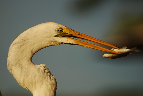 fish bird nature animal closeup outside outdoors colorful looking feeding florida eating wildlife watching baitshop sarasota staring egret bait avian greategret sarasotabay wadingbird ineedajob castnet pinfish newpass newpassgrillbait freashwaterbird michaelskelton michaeldskelton michaeldskeltonphotography