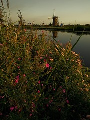 Wildflowers and Windmills - Kinderdijk, Netherlands