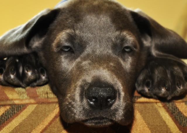 Great Dane Puppies For Sale Myrtle Beach