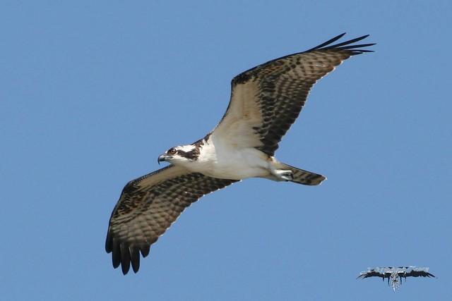 Osprey flickr photo sharing for Fish hawk atlanta