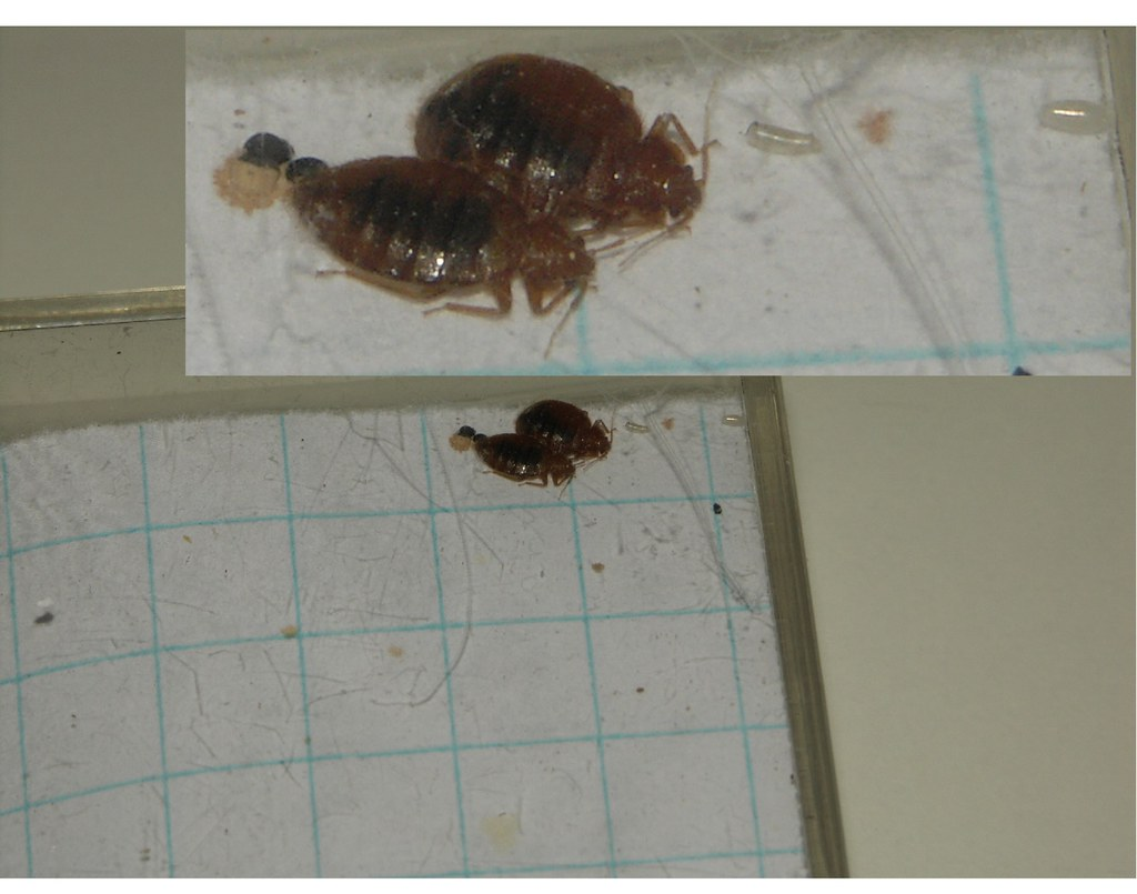 newly mated male & female bed bugs 2
