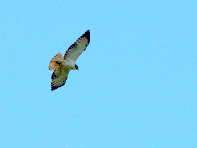 Short-tailed Hawk Light Morph 20100108